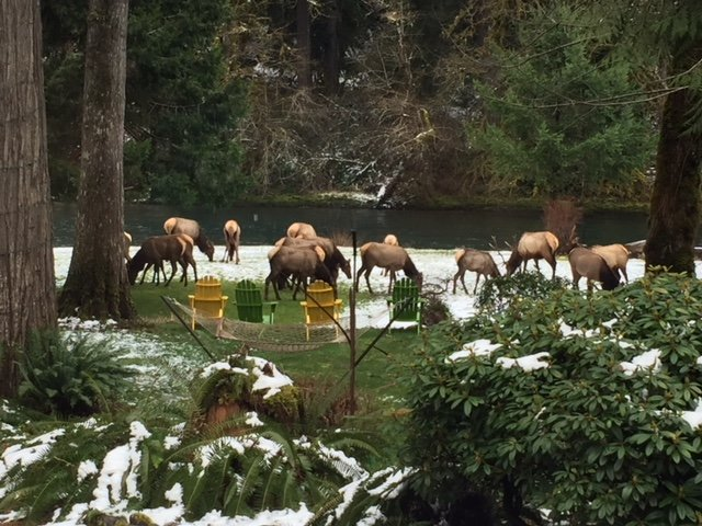 A group of brown Elk grazing in the light, white snow with a river flowing behind them.