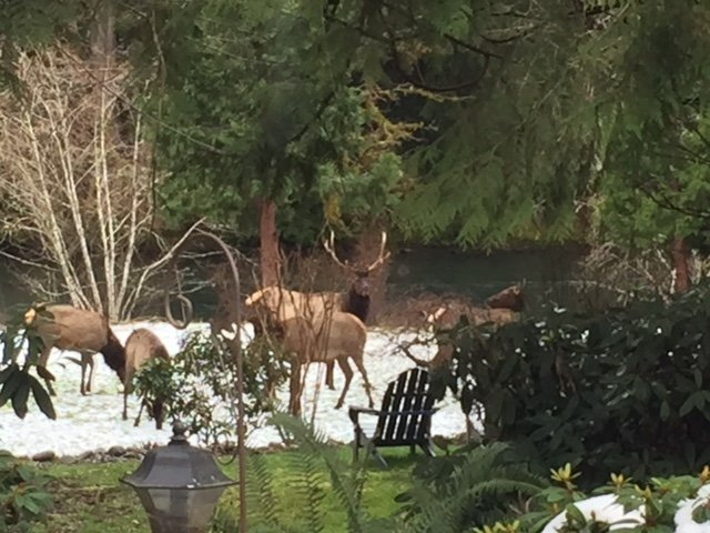 A group of brown Elk standing in snow in the back yard, river with green pine trees in the background.