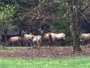 A group of brown elk graze on the green lawn with trees all around them.